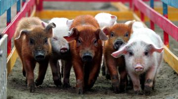Ученые готовы к первой в истории пересадке свиной кожи человеку