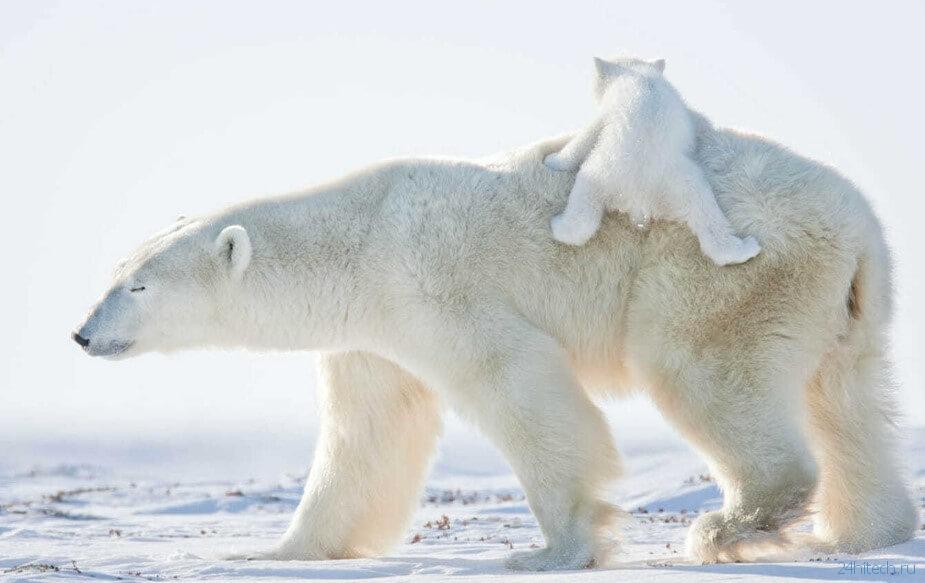 Через 100 лет белые медведи останутся без еды